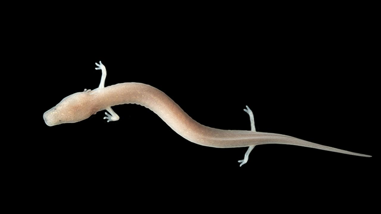 01-a-juvenile-olm-looks-exactly-like-an-adult-olm-photo-source-postojnska-jama.jpg